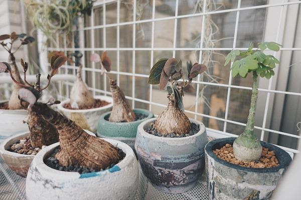 盆栽器皿推薦-鳳培植器