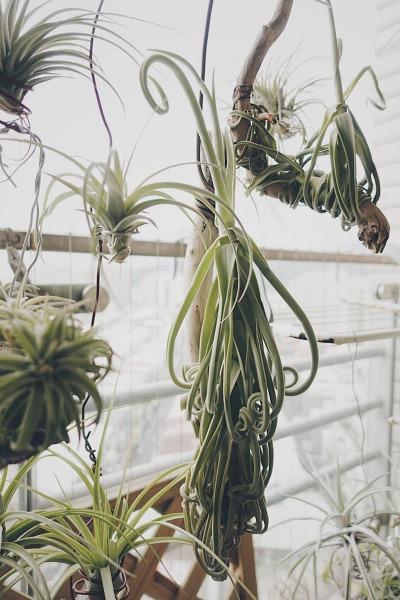 室內植物推薦-樹猴