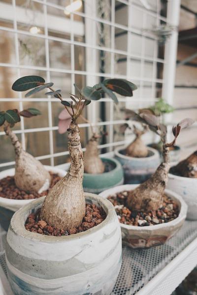 室內植物推薦-奇異油柑