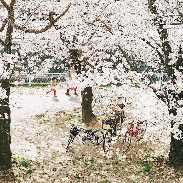 日本東京櫻花季 賞櫻行程