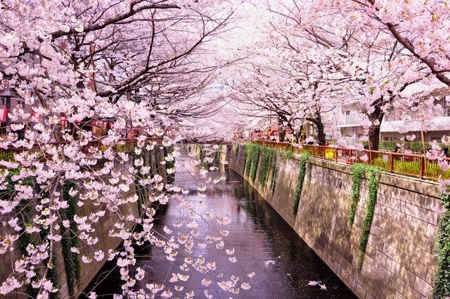 日本東京目黑川櫻花季 賞櫻行程