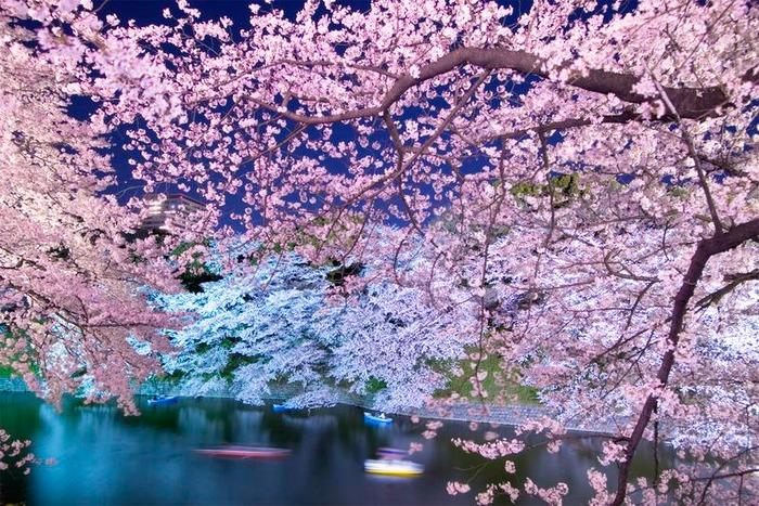 日本東京千鳥淵櫻花季 賞櫻行程