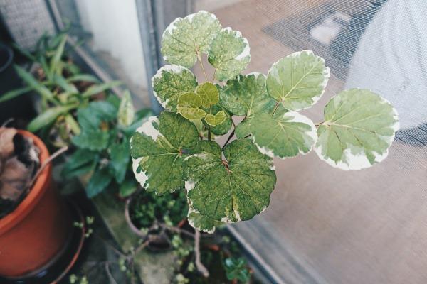 室內植物推薦-斑葉福祿桐