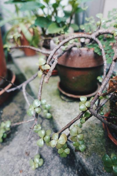 室內植物推薦-樹馬齒莧