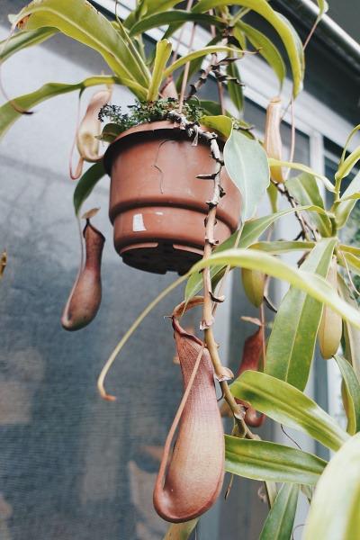 室內植物推薦-豬籠草