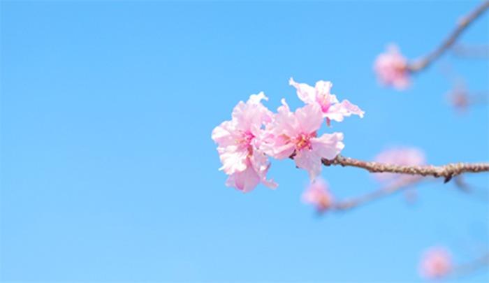 櫻花 乾燥花